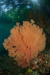 Gorgonian fan corals in Raja Ampat coral reef, near to mangroves, Raja Ampat, West Papua, Indonesia  -  Jurgen Freund