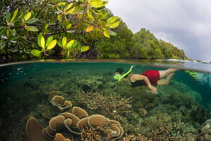 Coral reef split level with mangroves with snorkeller, Raja Ampat, West Papua, Indonesia, February 2012 Model released.  -  Jurgen Freund