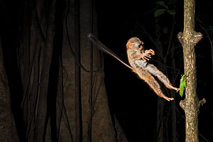 Spectral Tarsier (Tarsius tarsier) jumping on a grasshopper, Tangkoko National Park, North Sulawesi, Indonesia  -  Jurgen Freund