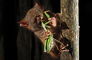 Spectral Tarsier (Tarsius tarsier) feeding on preying mantis in strangler fig tree, Tangkoko National Park, North Sulawesi, Indonesia - Jurgen Freund,Jurgen Freund