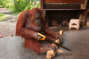 Bornean Orangutan (Pongo pygmaeus wurmbii) - 'Siswi' sawing a piece of firewood, Camp Leakey, Tanjung Puting National Park, Borneo, Central Kalimantan, Indonesia  -  Jurgen Freund