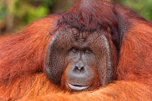 Bornean Orangutan (Pongo pygmaeus wurmbii) - Tom, Tanjung Puting National Park, Borneo, Central Kalimantan, Indonesia - Jurgen Freund