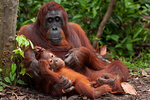 RF- Bornean Orangutan (Pongo pygmaeus wurmbii) mother and baby, Tanjung Puting National Park, Borneo, Central Kalimantan, Indonesia.  Endangered species. (This image may be licensed either as rights m... - Jurgen Freund