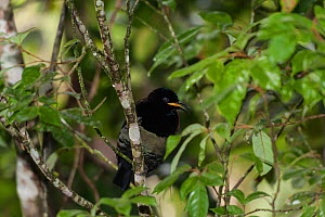 Male Victoria's Riflebird (Ptiloris victoriae) perched on a branch, Queensland, Australia - Jurgen Freund