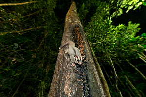 Sugar Glider (Petaurus breviceps) feeding on sap from a tree trunk. Atherton Tablelands, Queensland, Australia - Jurgen Freund