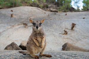Mareeba rock-wallaby (Petrogale mareeba) Queensland, Australia - Jurgen Freund,Jurgen Freund