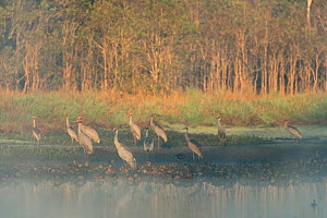 Sarus Cranes (Grus antigone) Atherton Tablelands, Queensland, Australia  -  Jurgen Freund