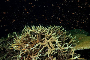 Staghorn coral (Acropora cervicornis) spawning during the annual mass coral spawning event, in November, Great Barrier Reef, Queensland, Australia  -  Juergen Freund