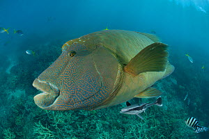 Adult male Napoleon Wrasse (Cheilinus undulatus) portrait, Great Barrier Reef, Queensland, Australia - Jurgen Freund