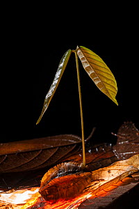 Forest seedling growing in the Bornean forest. Gunung Gading National Park, Sarawak, Malaysian Borneo - Jurgen Freund