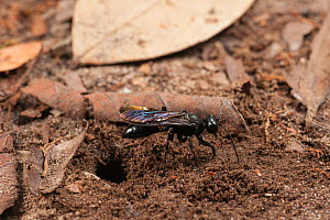 Scoliid wasp (Scoliidae) by burrow, Tanjung Puting National Park, Borneo, Central Kalimantan, Indonesia  -  Jurgen Freund