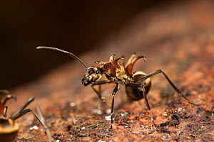 Ant (Polyrhachis ypsilon) missing an antennae, a monomorphic ant with a brilliant golden sheen and very pronounced curving hooked spines, Tanjung Puting National Park, Borneo, Central Kalimantan, Indo...  -  Jurgen Freund