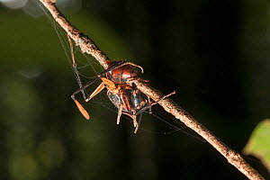 Dead ant (Formicidae sp) infected by  Ophiocordyceps fungus. Tanjung Puting National Park, Borneo, Central Kalimantan, Indonesia - Jurgen Freund