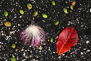 Seeds and flower from large tropical almond, sea almond, beach almond (Terminalia catappa) against black sand, Sulawesi beach, Indonesia  -  Jurgen Freund