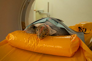 Injured Green turtle (Chelonia mydas) 'Angie' gets a CT Scan at the x-ray facility of Cairns Diagnostic Imaging Queensland, Australia, December 2011 - Jurgen Freund