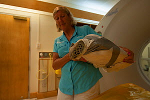 Jennie Gilbert of the Cairns Turtle Rehabilitation Centre cares for injured Green turtle (Chelonia mydas) 'Angie' as she gets a CT scan. Queensland, Australia, December 2011 - Jurgen Freund