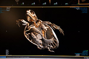 CT scan of injured Green turtle 'Angie' (Chelonia mydas) from the Cairns Turtle Rehabilitation Centre, Cairns Diagnostic Imaging. Queensland, Australia  -  Jurgen Freund,Jurgen Freund