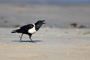 Pied Crow (Corvus albus) calling, The Gambia  -  Robin Chittenden