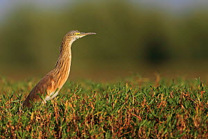 Squacco Heron (Ardeola ralloides) profile view, The Gambia  -  Robin Chittenden