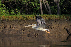 Pink-backed Pelican (Pelecanus rufescens) in flight, The Gambia  -  Robin Chittenden