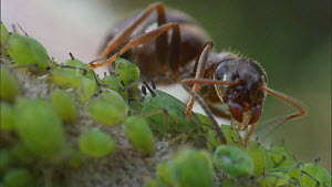 Black garden ant (Lasius niger) milking aphids for honeydew, Bristol, England, UK, July.  -  Ammonite