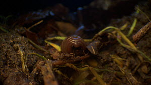 Earthworm (Lumbricus terrestris) moving through and feeding on leaf litter, Bristol, England, UK, June. - Ammonite