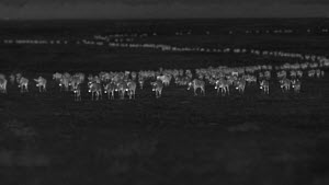 Large group of Black wildebeest (Connochaetes gnou) migrating across savanna in a line, footage taken at night using thermal camera technology, Masai Mara, Kenya. - Ammonite