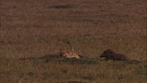 Sub-adult African lioness (Panthera leo) watching, chasing and missing a small group of Warthogs (Phacochoerus aethiopicus), Masai Mara, Kenya.  -  Ammonite