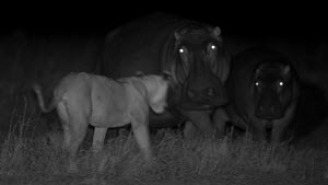 Group of sub-adult African lions (Panthera leo) chasing and jumping on a mother Hippopotamus (Hippopotamus amphibius) and her calf, footage taken at night using infrared camera technology, Masai Mara,...  -  Ammonite
