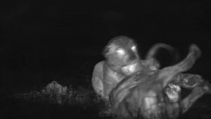 African lioness (Panthera leo) growling and swatting at a sub-adult male approaching a kill, footage taken at night using thermal camera technology, Masai Mara, Kenya.  -  Ammonite