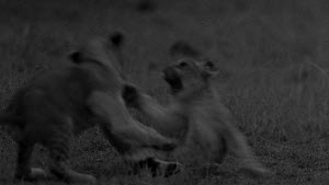 Group of African lion (Panthera leo) cubs play fighting with each other, footage taken at night using starlight camera technology, Masai Mara, Kenya. - Ammonite