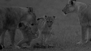 Group of African lion (Panthera leo) cubs playing with their mother and another lioness, footage taken at night using starlight camera technology, Masai Mara, Kenya.  -  Ammonite