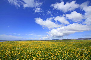 Timelapse of cumulus cloud formations over machair habitat, with flowering Buttercups (Ranunculus), South Uist, Outer Hebrides, Scotland, UK, July 2011.  -  Mark  Hamblin / 2020VISION