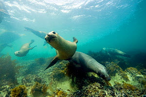 South American sea lion (Otaria flavescens) underwater, Golfo Nuevo, Peninsula Valdes UNESCO Natural World Heritage Site, Chubut, Patagonia, Argentina, Atlantic Ocean, October - Franco Banfi