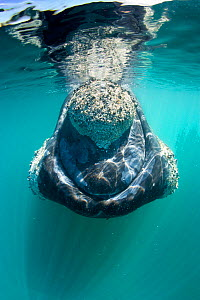 Southern right whale (Eubalaena australis) with calluses covered in parasitic crustaceans named cyamids or whale lice (Cyamus ovalis). Golfo Nuevo, Peninsula Valdes, UNESCO Natural World Heritage Site... - Franco Banfi