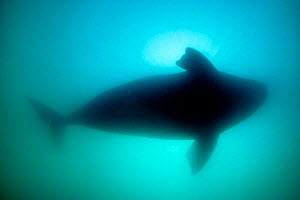Silhouette of Southern right whale (Eubalaena australis) Golfo Nuevo, Peninsula Valdes, UNESCO Natural World Heritage Site, Chubut, Patagonia, Argentina, Atlantic Ocean, October - Franco Banfi
