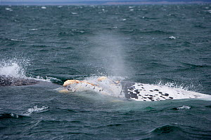 Rare albino Southern Right whale (Eubalaena australis) breaching, with calluses covered in parasitic crustaceans named cyamids or whale lice (Cyamus ovalis).  Golfo Nuevo, Peninsula Valdes, UNESCO Nat... - Franco Banfi