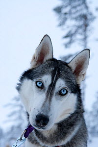 Siberian Husky sled dog portrait, with head cocked to one side, Riisitunturi national park, Lapland, Finland, July  -  Franco Banfi