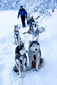 Siberian husky sled dogs, with sled guide, Riisitunturi National Park, Lapland, Finland  -  Franco Banfi