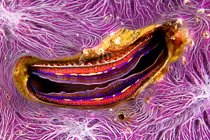 Bivalve scallop (Pedum spondyloideum) inside a coral covered with purple sponge, Maldives, Indian Ocean - Franco  Banfi