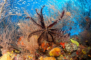 Black crinoid or feather star on coral, Maldives, Indian Ocean  -  Franco Banfi