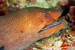 Giant moray eel (Gymnothorax javanicus) Maldives, Indian Ocean  -  Franco Banfi