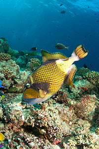 Titan trigger fish (Balistoides viridescens) foraging amongst coral for mussels, Maldives, Indian Ocean  -  Franco Banfi