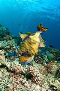 Titan trigger fish (Balistoides viridescens) foraging in coral for mussels, Maldives, Indian Ocean  -  Franco Banfi