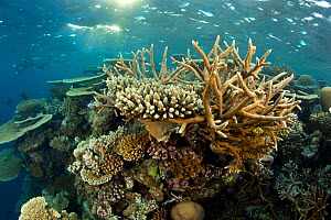 Reef covered with hard corals, Brush Coral (Acropora hyacinthus) Robust Acropora (Acropora robusta) and other Acropora, Maldives, Indian Ocean  -  Franco Banfi