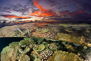 Reef under the surface of shallow waters, at sunset, covered with hard corals, Brush Coral (Acropora hyacinthus) Robust Acropora (Acropora robusta) and other Acropora, Maldives, Indian Ocean  -  Franco Banfi
