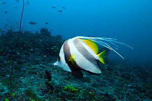 Longfin bannerfish (Heniochus acuminatus) with a malformation of the banner, Maldives, Indian Ocean - Franco Banfi