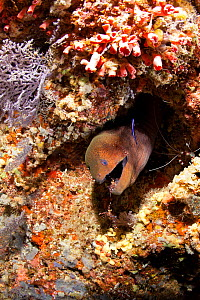 Giant moray (Gymnothorax javanicus) with Rock shrimp, Urocaridella sp. , Maldives, Indian Ocean  -  Franco Banfi