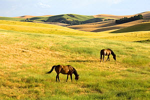 Horses (Equues caballus) grazing in open landscape. Columbia County - Eastern Washington. Washington, USA, August.  -  Kirkendall-Spring