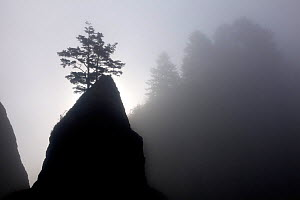 Trees and sea stacks silhouetted in fog at Point of the Arches in Olympic National Park. Washington, USA, August 2012.  -  Kirkendall-Spring